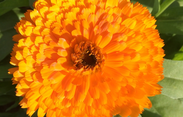Goudsbloem 06: Art of Shades oranje dubbel
