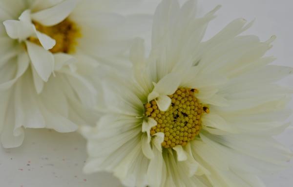 Rosea odorata pure white