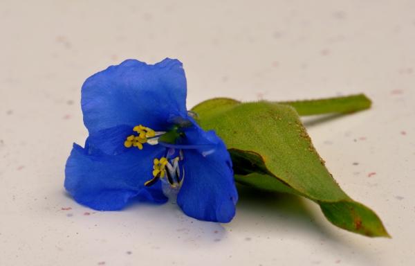 Patras blom