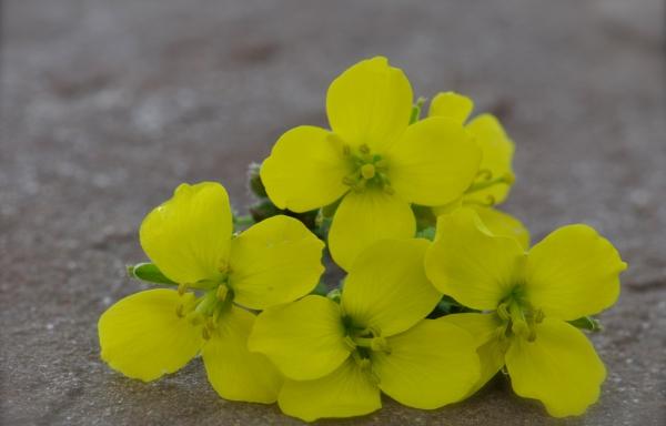 Rucola geel
