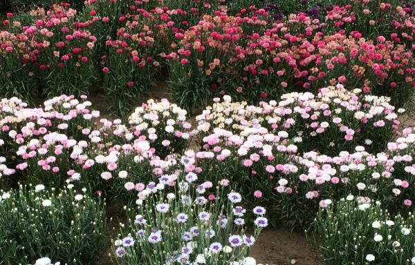 Tuin 8: 50 m2 met 50.000 bloemen