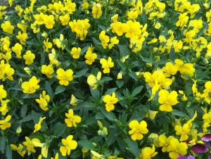 2015-07-22 09_Fotor tops geel