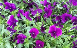 2015-07-22 09_Fotor tops paars