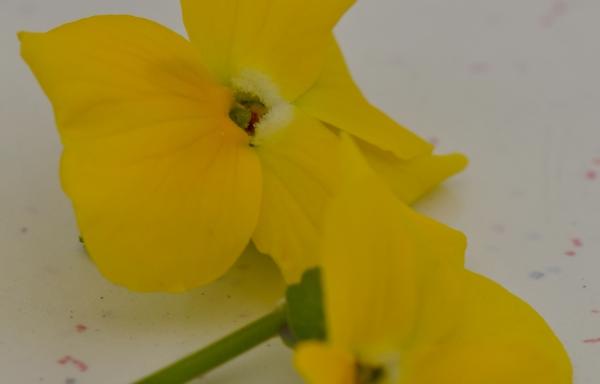 Viool geel